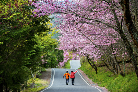 Beautiful Cherry Road in Wuling Farm Taiwan