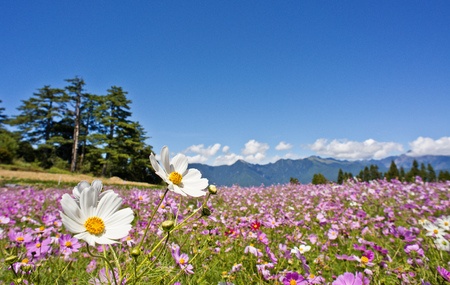 campo de flores: flores hermoso campo en Taiwán