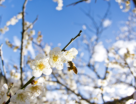 natureal: Plum blossom in Taiwan