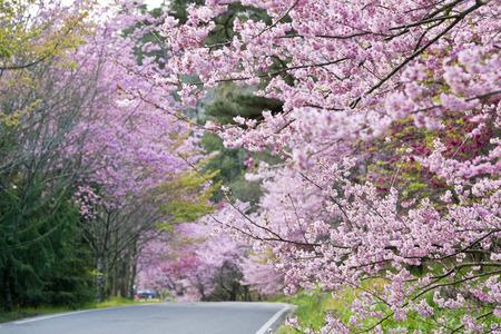 arbol de cerezo: Hermoso camino a la cereza en Granja Wuling Taiwán