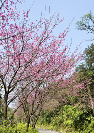 cerezos en flor: flor de cerezo en Taiwán