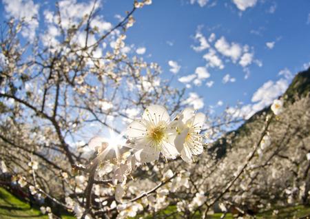 Plum flower blossom in Taiwan
