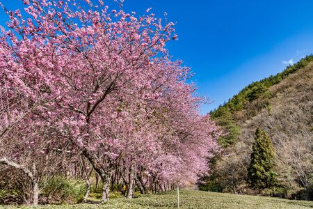 Cherry Blossoms in Wuling Farm, Taichung, Taiwan