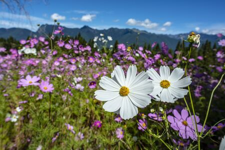 Cosmos flowers Blossoms in Fushoushan Farm, Taichung, Taiwan Stock Photo