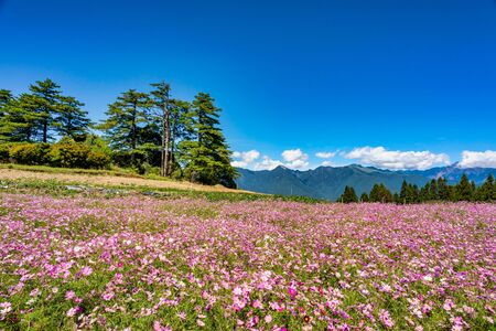 Cosmos Flowers Blossoms in Fushoushan Farm, Taichung, Taiwan Zdjęcie Seryjne