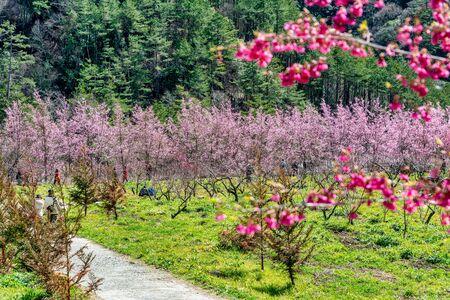 Beautiful Cherry Blossoms in Wuling Farm, Taichung, Taiwan
