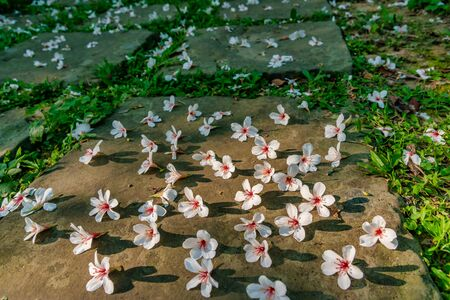Many white tung flowers falling on forest trail,in Miaoli, Taiwan