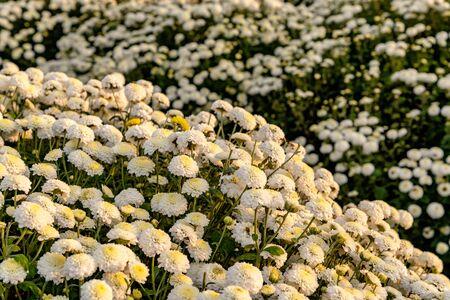 Daisy blooming in Tongluo, Miaoli, Taiwan