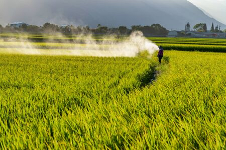 Landscape View Of paddy field At Chishang, Taitung, Taiwan. Zdjęcie Seryjne