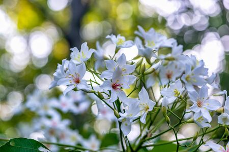 White tung flower blooms on the branches,Miaoli, Taiwan