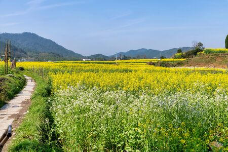 Landscape Of Rapeseed Flowers Blooming at spring in Wuyuan, Jiangxi, China
