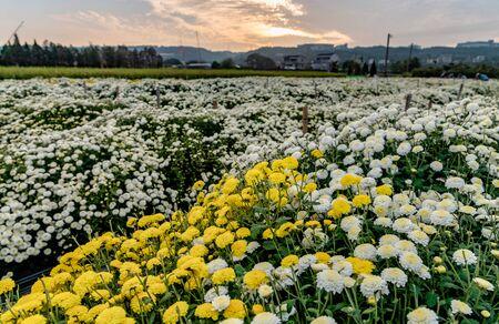 Daisies blooming in autumn, Tongluo, Miaoli Taiwan