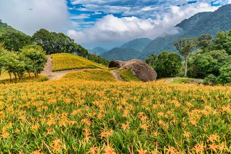 Daylily flower Blooming at Chike Mountain in Hualien, Taiwan