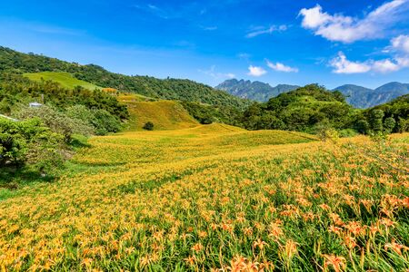 Daylily flower Blooming at sixty Stone Mountain (Lioushihdan Mountain) in Hualien, Taiwan