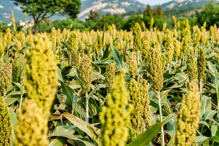 Sorghum fields in Kinmen, Taiwan