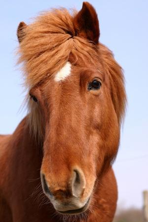 夏のフィールド上のデンマークの馬 写真素材