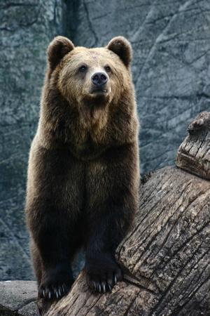 terrestrial mammals: Bear