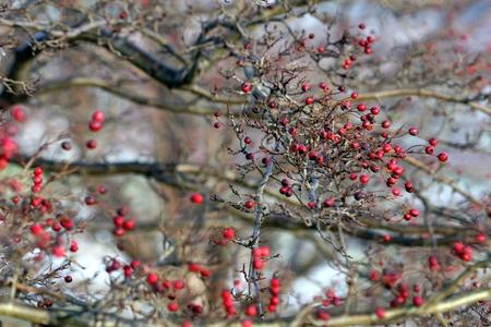 frutos rojos en un árbol en invierno en Dinamarca Foto de archivo - 9401098
