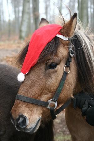 icelandic  horses with christmas hat Stock Photo
