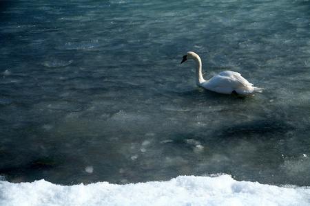 ice on the sea in denmark with a swan swimming  photo