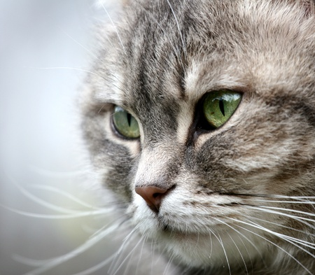 grey cat (s) with green eyes Stock Photo - 9408454