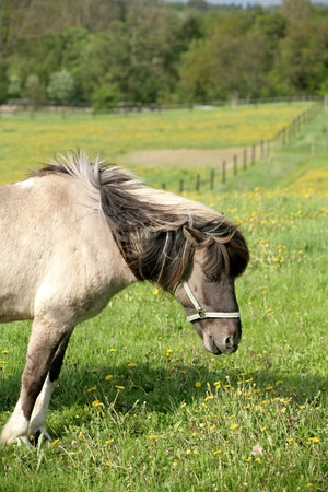 danish horses on a field in the summer Stock Photo - 9401291