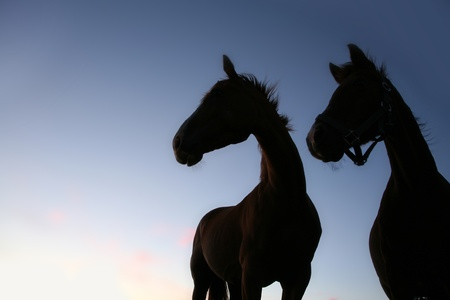 horses on a field in the summer in the countryside  in denmark, silhouette at the sunset Stock Photo - 9404331