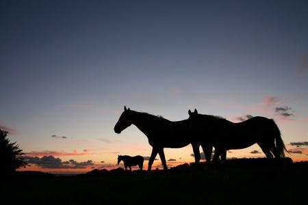 夏の日没のシルエット、デンマークの田園地帯でのフィールド上の馬 写真素材