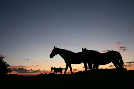 horses in field: horses on a field in the summer in the countryside  in denmark, silhouette at the sunset