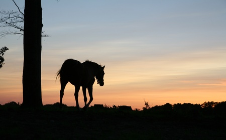 horses on a field in the summer in the countryside  in denmark, silhouette at the sunset Stock Photo - 9400740
