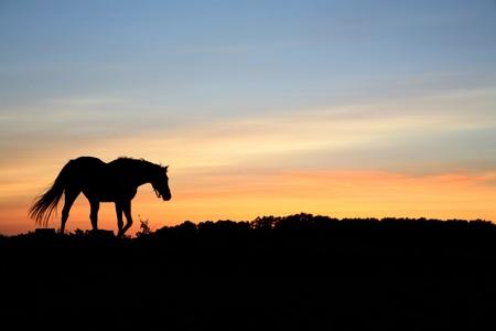 Chevaux sur un champ en été à la campagne au Danemark, silhouette au coucher de soleil Banque d'images