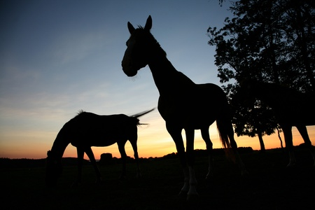 horses on a field in the summer in the countryside  in denmark, silhouette at the sunset  Stock Photo - 9400842