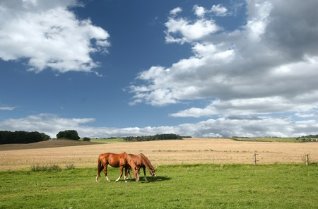 danish horses on a field in the summer Stock Photo - 9400888