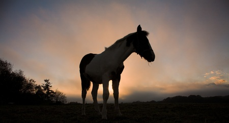 horses on a field in the summer in the countryside  in denmark, silhouette at the sunset Stock Photo - 9409385