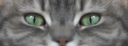 grey cat  with green eyes looking at the camera Stock Photo - 9398158