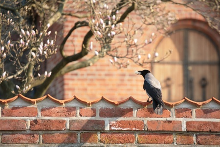 close up of a wall   in brick in denmark and bird eating bread photo