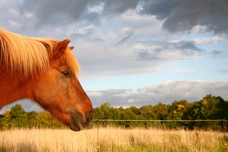 danish horses on a field in the summer  photo