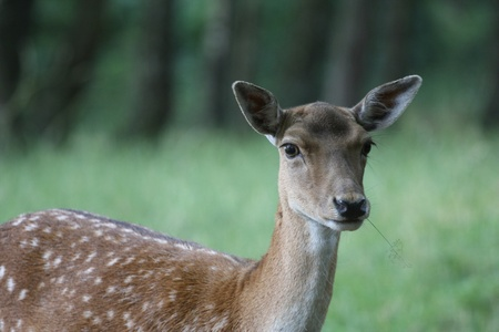 Deers in a forest  park in Denmark in the summer