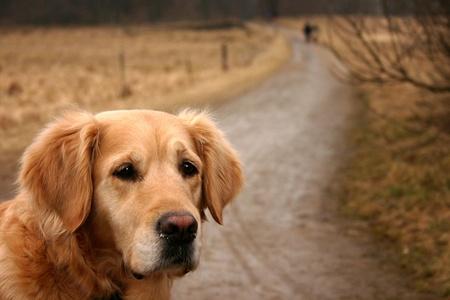 chien dans la nature (golden retriever) sur un chemin