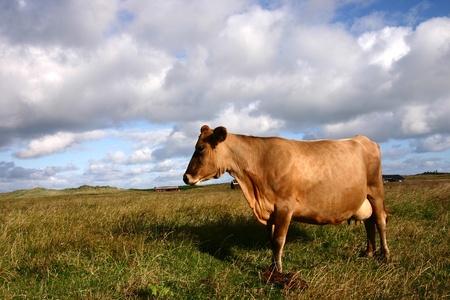 terrestrial mammals: cow in denmark