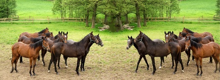danish horses on a field in the summer (double picture)  Stock Photo