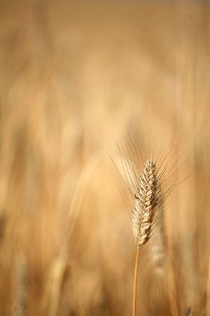ble: weath cereal field in denmark in the summer Stock Photo