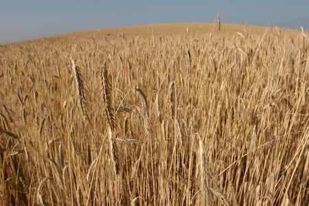 weath cereal field in denmark in the summer photo