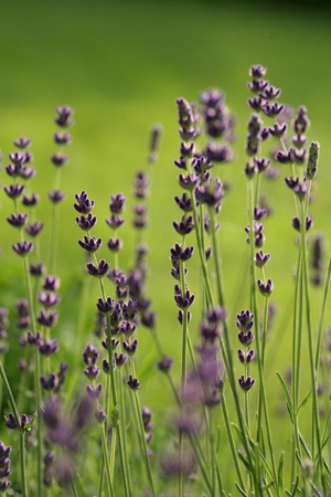 closeup picture of a lavender in a garden Stock Photo - 9586084