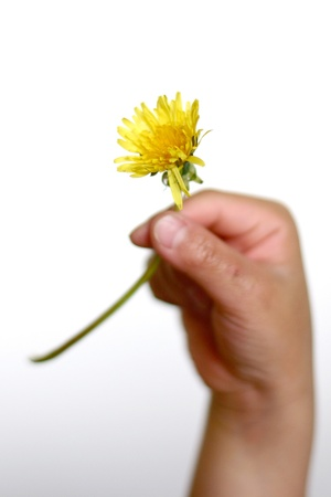 child hand holding a dandelion  photo