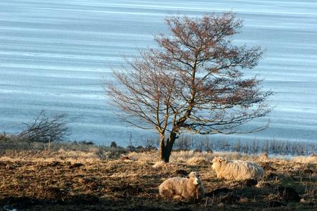 Frozen  lake in denmark in winter with  sheeps on a field Stock Photo - 9742212