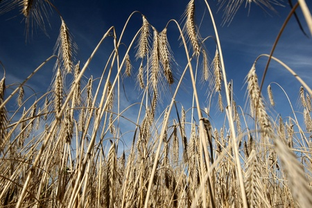 in the country a culture of cereal, wheat,corn photo