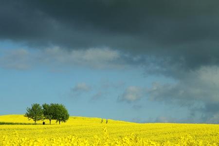 summer in the countryside  in denmark rapse field Stock Photo