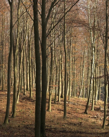treetrunk: Autumn forest in the countryside  in Denmark