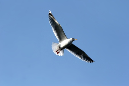 seagull in denmark waiting the return of fishing boat Stock Photo - 10960720